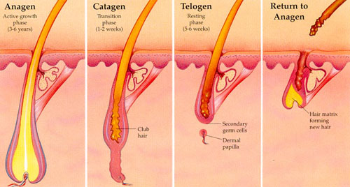 growth cycle of a hair has three stages.